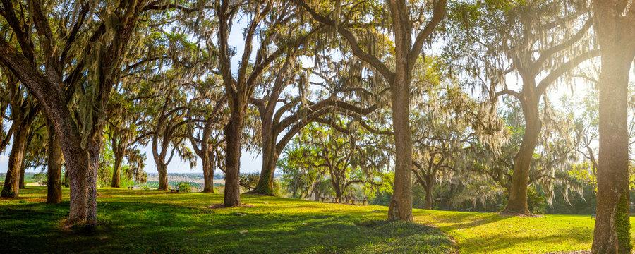 Giant Live Oak Trees In Evening Sunlight