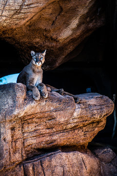 curious mountain lion