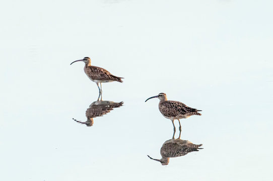 Two Whimbrels