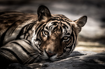 ranthambore wild male tiger Fine art image portrait of wild male bengal tiger extreme close up with eye contact at ranthambore national park or tiger reserve rajasthan india - panthera tigris