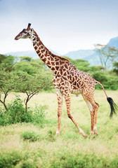 Photo sur Toile Girafe Shot of giraffe in Africa
