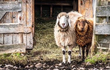 Wall Mural - cute sheeps