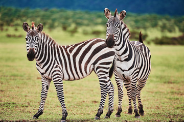 Photo sur Plexiglas Zebra Two beautiful zebras in Africa