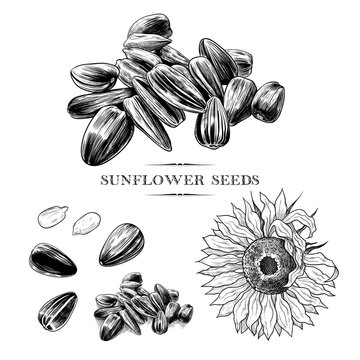 .A set of sunflower seeds sketches .Hand-drawn vector .illustration in vintage style.Isolated design elements..