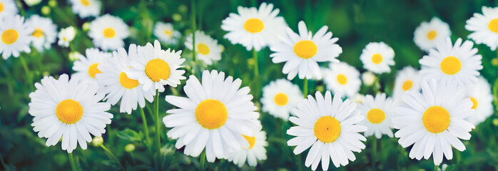 Nature Summer Background with chamomile flowers