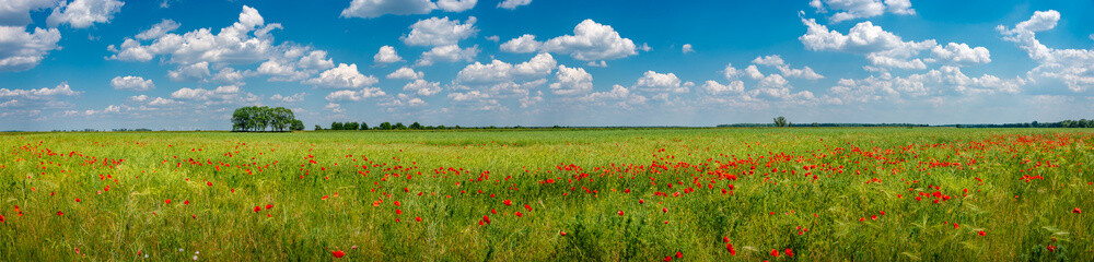Panoramic view over grassland landscape with red meadow field of poppies and beautiful nature at Spring countryside, wide angle