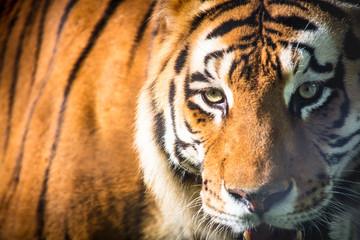 Photo sur Plexiglas Tigre Close up do olhar do tigre