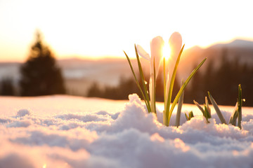 Tuinposter Krokussen Beautiful crocuses growing through snow, space for text. First spring flowers