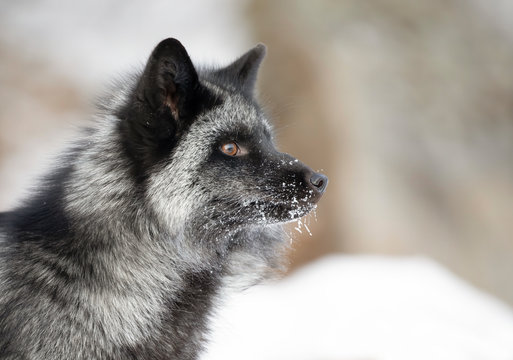 Silver fox (Vulpes vulpes) portrait which is a melanistic form of the red fox in the snow in Montana, USA