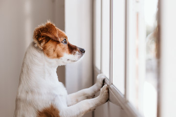 Photo sur Aluminium Chien cute small dog standing on two legs and looking away by the window searching or waiting for his owner. Pets indoors