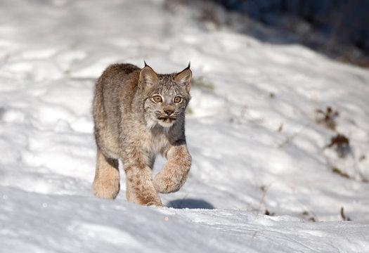 Canada Lynx kitten (Lynx canadensis) walking in the winter snow in Montana, USA