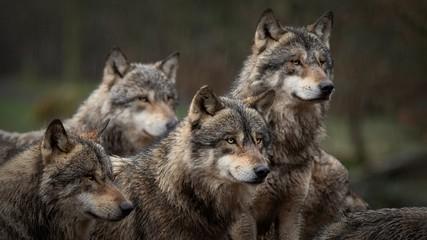 Photo sur cadre textile Loup Les loup gris