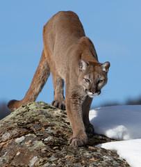 Photo sur Plexiglas Puma Cougar or Mountain lion (Puma concolor) walking in the winter snow in Montana, USA