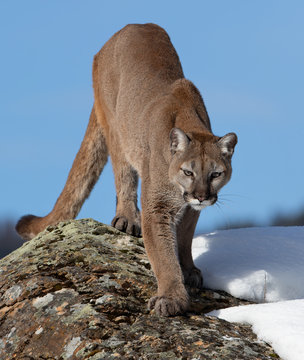 Cougar or Mountain lion (Puma concolor) walking in the winter snow in Montana, USA