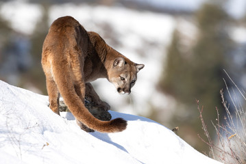 Photo sur Aluminium Puma Cougar or Mountain lion (Puma concolor) walking in the winter snow in Montana, USA