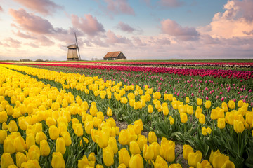 Tulips fields and windmill near Lisse, Netherlands.