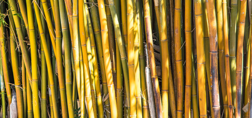 Fundo com bambus amarelos