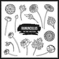 SET OF RANUNCULUS FLOWERS AND LEAVES