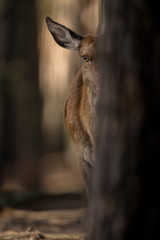 Foto op Canvas Hert rotwild