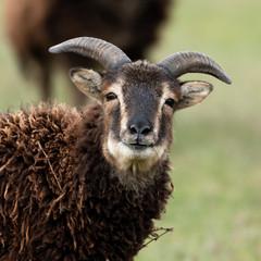 Closeup of a brown soay sheep