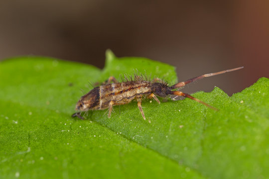 Orchesella flavescens is a species of slender springtail in the family Entomobryidae. Slender springtail, Orchesella flavescens on green leaf