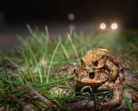 Krötenwanderung - ein Paar Erdkröten ist kurz davor, eine mit Autos befahrene Straße zu überqueren