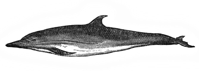 Illustration of the common dolphin of the Mediterranean Delphinus delphis in the old book The Encyclopaedia Britannica, vol. 15, by C. Blake, 1883, Edinburgh