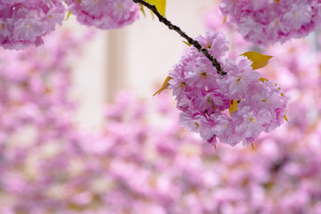 blossoming sakura tree background. beautiful pink flowers on the branches in spring