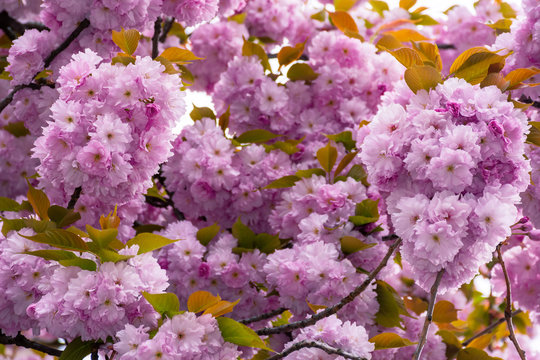 blossoming cherry tree background. beautiful pink flowers on the branches in spring