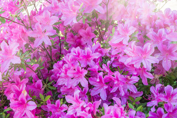 Poster Azalea Flowers in bloom. Pink azalea flowers. Spring concept