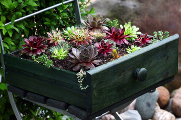 Papiers peints Jardin Beautiful sempervivum and succulent plants sitting an old green drawer on a metal chair in the garden as a decoration.