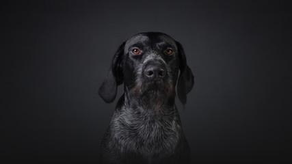 Hunting dog deutsch dahthaar on dark grey background studio photo Fotobehang