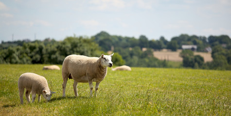 Zelfklevend Fotobehang Schapen Troupeau de mouton en plein air en campagne.