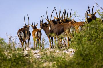 Garden Poster Antelope Sable Antellope