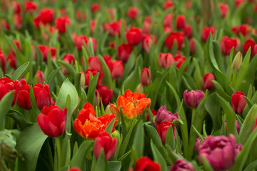 Red tulips field beautiful spring background.