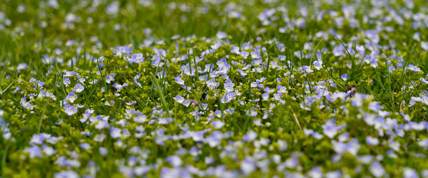 early spring meadow with small blue flowers, wide background