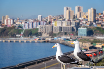 Wall Mural - Seagulls in Valparaiso, harbor and buildings in the background, Chile