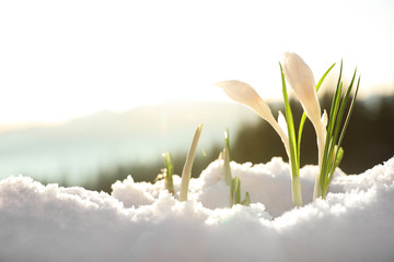 Papiers peints Crocus Beautiful crocuses growing through snow, space for text. First spring flowers