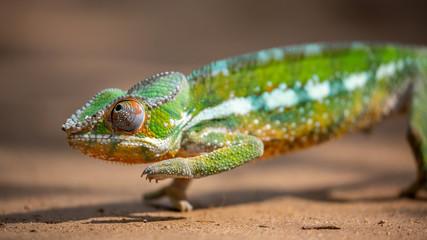 Panther chameleon closeup, Furcifer pardalis, Andasibe, Madagascar