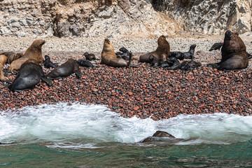 Mähnenrobben mit Jungtiere auf den Ballestasinseln in Peru nähe Paracas