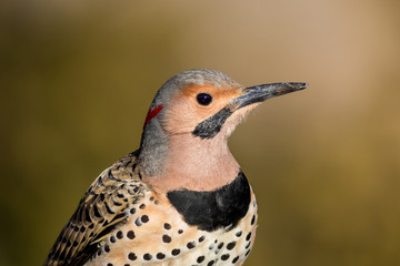 Norther Flicker closeup, Colaptes auratus, a medium sized bird of the Woodpecker family, looking right with natural green earthy tones background