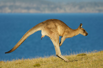 Macropus giganteus - Eastern Grey Kangaroo marsupial found in eastern third of Australia, also known as the great grey kangaroo and the forester kangaroo. Jumping in the coastal bush