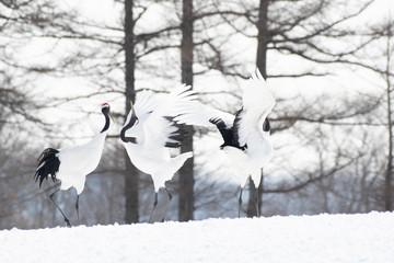 Red-crowned cranes dancing in Tsurui village