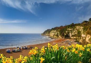 Daffodils at Beer beach in Devon in spring sunshine Fotomurales