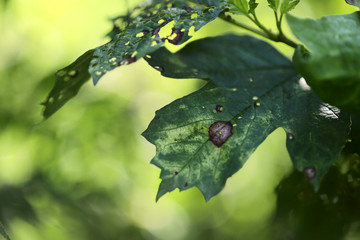 Natural background. Blurred background of disease-damaged green leaves of trees. Brown spots and blooms on green leaves. Side view, horizontal, cropped picture, free space on the left.