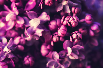 Spoed Fotobehang Lilac Purple lilac flowers blossom in garden background