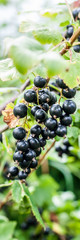 Blackcurrant Berries on a Branch
