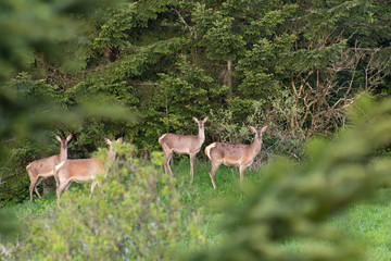 European roe deer (Capreolus) in spring. Western Beskids, near Litmanova, Slovakia.