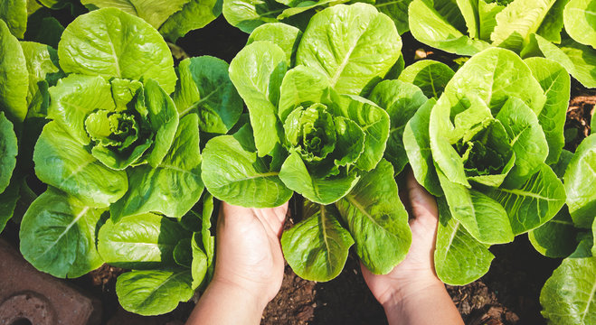 Farmers' hands hold organic green salad vegetables in the plot. Concept of healthy eating, non-toxic food, growing vegetables to eat at home