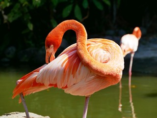Photo sur Aluminium Flamingo Portrait d'un flamant rose au jardin botanique de Deshaies en Guadeloupe